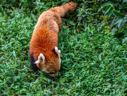 Kleine Pandas sind eher Einzelgänger, die sich nur zur Paarung – meist Ende Dezember bis Mitte Februar – mit anderen Artgenossen zusammenfinden.