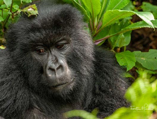 Verglichen mit anderen Gorillas nehmen Berggorillas deutlich weniger Früchte zu sich. Blätter stellen den Hauptbestandteil ihrer Nahrung dar.