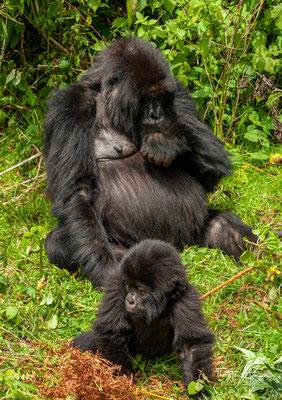 Berggorillas sind damit die einzige Gorilla-Unterart mit steigendem Bestand.