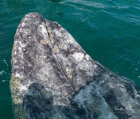Die in der Nähe der Ortschaft Guerrero Negro gelegene Bucht Ojo de Liebre, ist besonders beliebt und deshalb der ideale Ort um die Wale zu beobachten