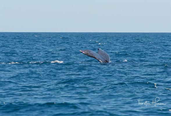 Bekannt sind die Tiere unter anderem aufgrund ihres Walgesangs und ihrer Lebhaftigkeit