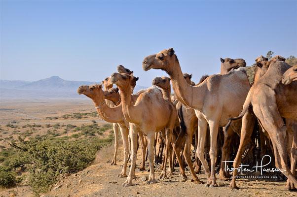 Der letzte Marsch der Kamele