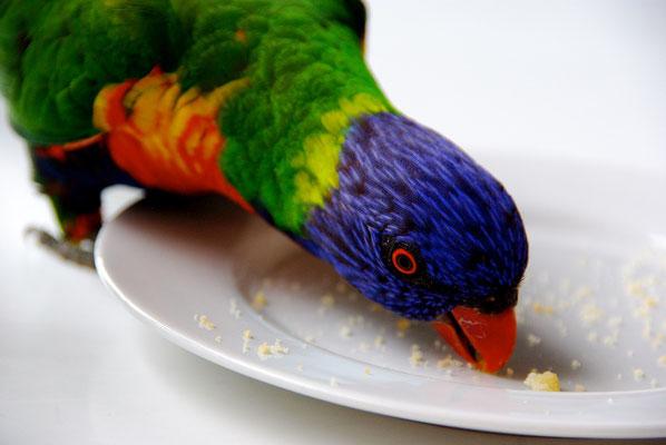 Lorikeet Papagei