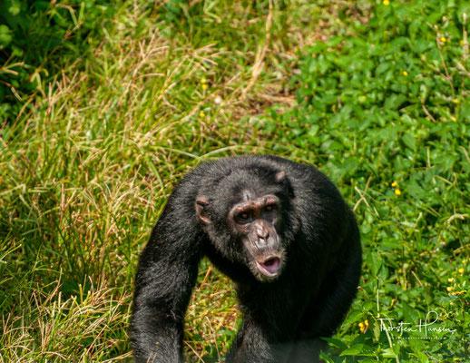 Schimpansen gehören zu den kleineren Menschenaffenarten. Die Männchen etwas größer und deutlich massiger als die Weibchen.