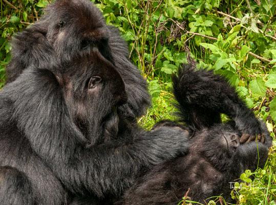 Wie alle Gorillas sind sie tagaktiv und errichten zur Nachtruhe ein Nest aus Blättern und Ästen. Dieser Vorgang dauert meist weniger als fünf Minuten, üblicherweise wird ein Nest nur einmal verwendet.