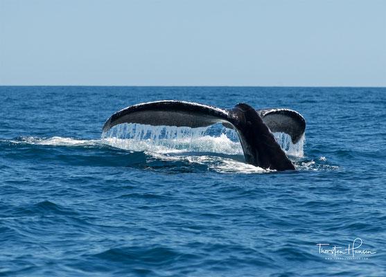 Gefressen wird nur in den Sommerquartieren, im Winter zehren Buckelwale von ihren Fettreserven.
