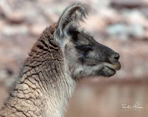 Lamas ernähren sich von krautigen Pflanzen, Gräsern, einschließlich den Familien der Süß- und Federgräsern, sowie von Sträuchern, Flechten und Blättern.
