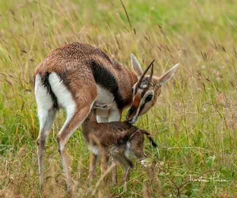 Springbock in der Massai Mara