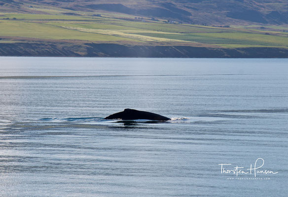 Walbeobachtung in Akureyri - Buckelwale Eyjafjörðu Fjord