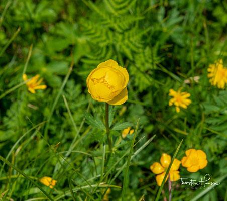 Die Trollblume bevorzugt feuchte Wiesen und Bachränder und ist bis zu einer Höhe von 2.700 Metern zu finden. Sie gehört zur Familie der Hahnenfußgewächse.