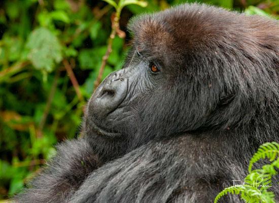 In der Regel bestehen diese Gruppen aus einem erwachsenen Männchen, mehreren Weibchen und dem dazugehörigen Nachwuchs.