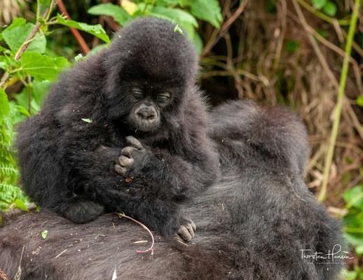 Neben Lebensraumzerstörung, illegaler Jagd und Tierhandel sind diese Tiere auch durch von Menschen übertragene Krankheiten (insbesondere Atemwegsinfektionen) gefährdet.
