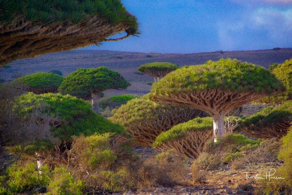 Drachenbäume auf dem Diksam Plateau