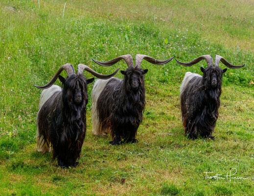 """Die als """"Gletschergeiß"""" bezeichnete Ziege war lange Zeit die zahlenmäßig kleinste Rasse in der Schweiz. In Deutschland wird sie seit Anfang der 80er Jahre gehalten."""