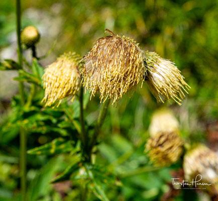 Gelbe Distel Blüten