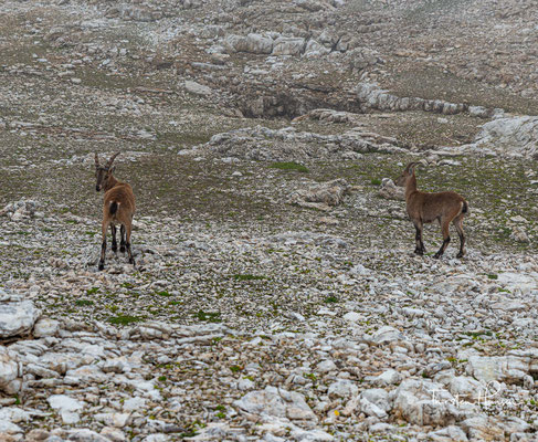 In den Alpen ist der sogenannte Alpensteinbock (der zur Gattung der Ziegen gehört) zu Hause. Steinböcke sind erstaunlich gute Kletterer und sind meist zwischen der Wald- und Eisgrenze anzutreffen