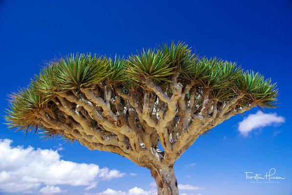 Die Drachenbäume bilden eine Pflanzengattung aus der Familie der Spargelgewächse (Asparagaceae)