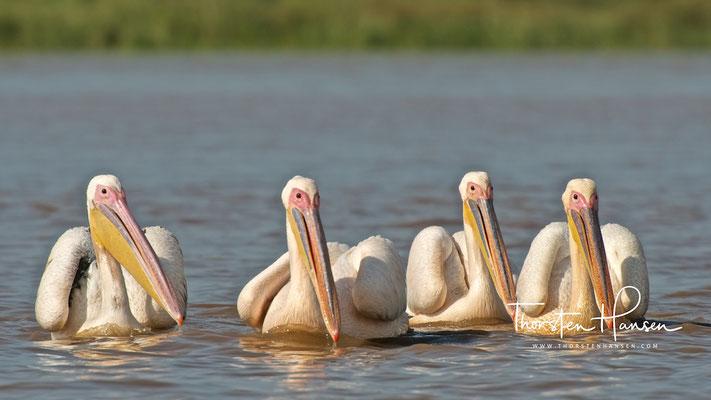Pelikane am Chamosee