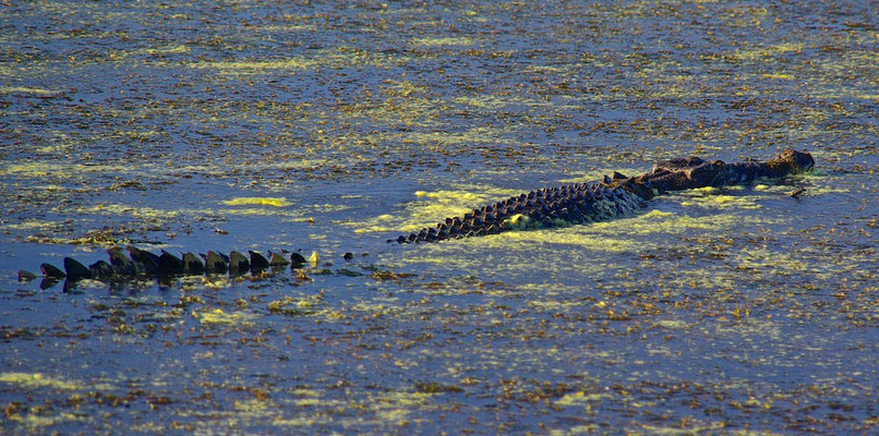 Süßwasserkrokodil im Kakadu NP