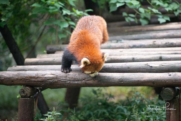"""Seit 2008 wird der Kleine Panda auf der Roten Liste gefährdeter Arten der Weltnaturschutzunion als """"gefährdet"""" (englisch vulnerable) geführt."""