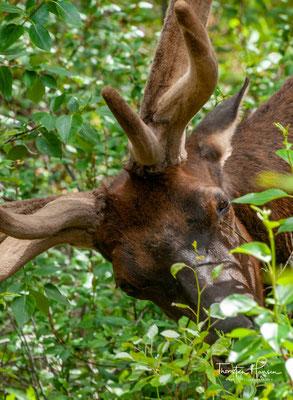 Der Wapiti (Cervus canadensis) ist eine Säugetierart aus der Familie der Hirsche (Cervidae). Unter der Bezeichnung werden die in Nordamerika lebenden Tiere samt einigen ostasiatischen Unterarten zusammengefasst