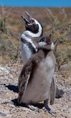 Magellan-Pinguin mit Jungvogel