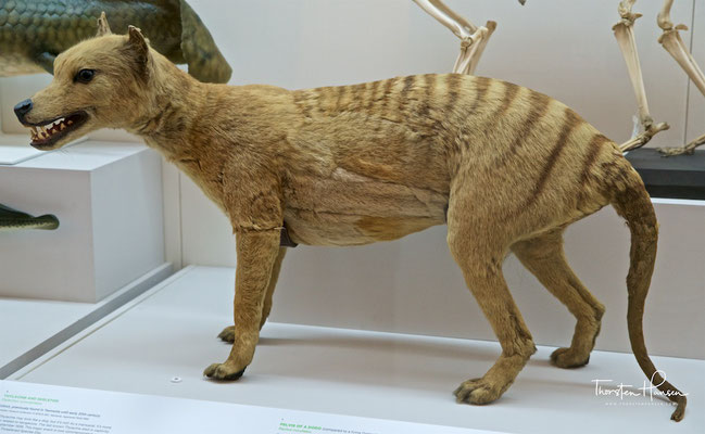 Präparierter Beutelwolf im Australian Museum in Sydney
