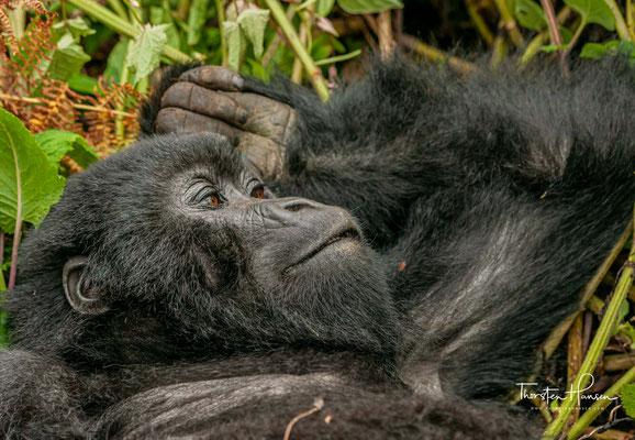 Die Berggorilla-Weibchen sind deutlich kleiner und leichter.