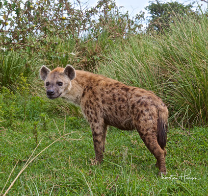 Hyäne im Ngorongoro-Krater