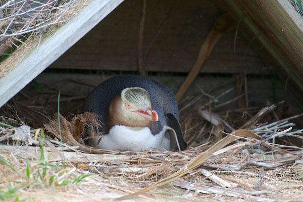 Der Gelbaugenpinguin gehört gemeinsam mit dem Galápagos-Pinguin und dem Dickschnabelpinguin zu den seltensten Pinguinarten.