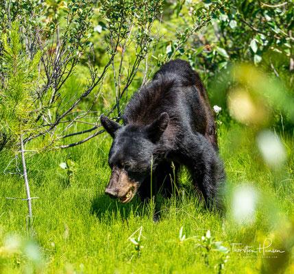 Der Amerikanische Schwarzbär (Ursus americanus), auch Baribal genannt, ist eine in Nordamerika lebende Raubtierart aus der Familie der Bären