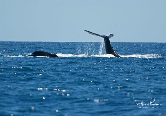 An der Oberfläche findet dies horizontal statt, aus größeren Tiefen steigt der Wal senkrecht auf.