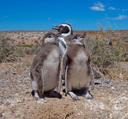 Magellan-Pinguin (Spheniscus magellanicus)