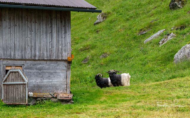Die Walliser Schwarzhalsziege stammt aus dem Unter- und später auch aus dem Oberwallis in der Schweiz. Durchschnittlich 500 kg Milch in 200 Tagen