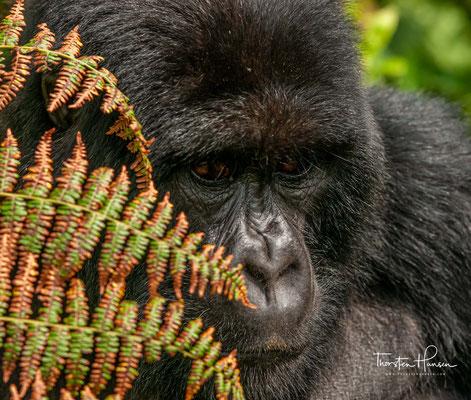 Von hier aus erforschte sie in einer Langzeitstudie das Leben der Berggorillas im Nationalpark und engagierte sich für den Schutz der Tiere.