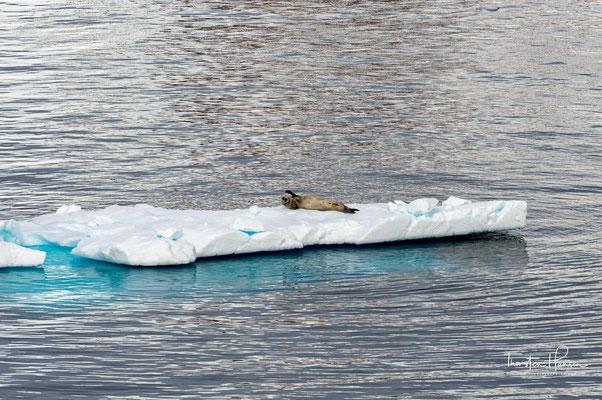 Seelöwe auf einer Eisscholle in der Charlotte Bay