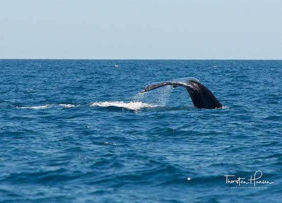 Er erreicht eine Körpergröße von 12 bis 15 Metern und hat im Vergleich zu anderen Walen deutlich größere Flipper.