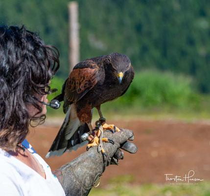 Vogelshow auf den Grouse Mountains