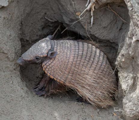 Es hat kurze Haare und sieben Gelenkbänder an seiner Schutzhülle, die größtenteils grau mit leicht gebogenen, beigen Rändern sind. Es hat viel weniger Haare auf der