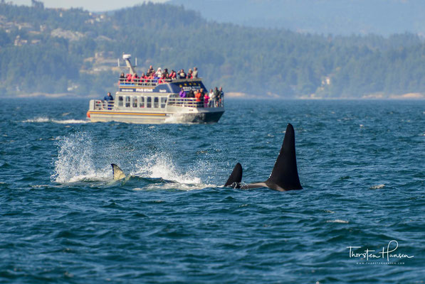 Whale Watching in Victoria auf Vancouver Island