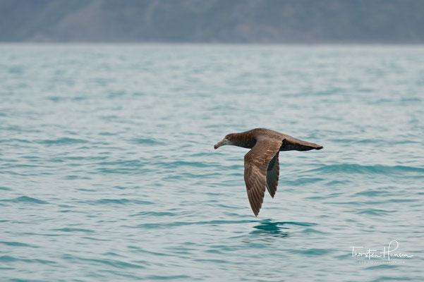 Der Riesensturmvogel (Macronectes giganteus) ist ein Brutvogel des antarktischen Festlands sowie vieler subantarktischer Inseln aus der Familie der Sturmvögel (Procellariidae). Er verbringt sein Leben überwiegend auf hoher See und ist dann bis zum südlich