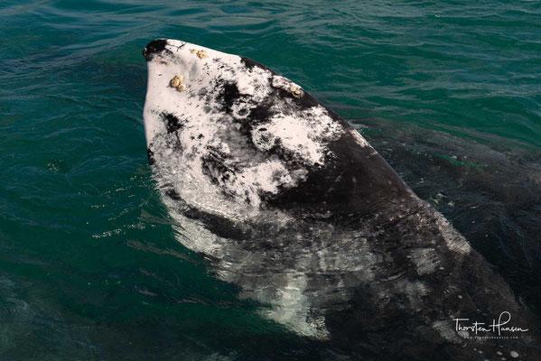 Nach einer 8'000 km langen Reise, von den arktischen Gewässern der Beringsee bis an die Pazifikküste Mexikos, tummeln sich die gigantischen Wale in den Monaten November bis März in den Lagunen der Baja California.