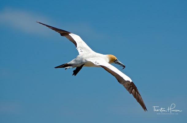 Der Australische Tölpel erreicht eine Körpergröße von 84 bis 91 Zentimetern. Die Flügel haben eine Länge von 44 bis 48,5 Zentimetern.