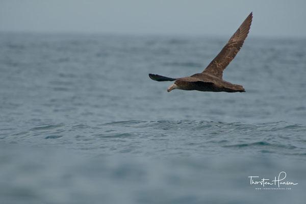Sie sind dadurch in der Lage, sich schneller in die Luft zu erheben.  Im Gegensatz zum nah verwandten Hallsturmvogel brütet der Riesensturmvogel in Kolonien.