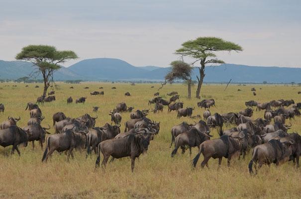 Gnus im Serengeti NP