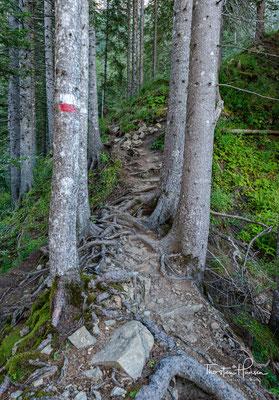 Immer bergauf geht es durch dichten Nadelwald und Wurzelgeflecht