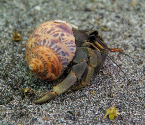 Einsiedlerkrebse oder Hermit Crab