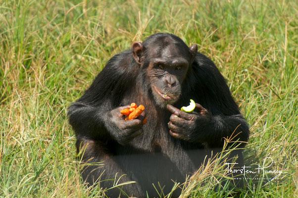 Schimpansen Insel Ngamba in Uganda