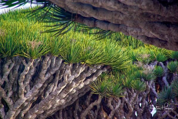 In der Gattung der Drachenbäume (Dracaena) werden etwa 50 bis 150 Arten unterschieden