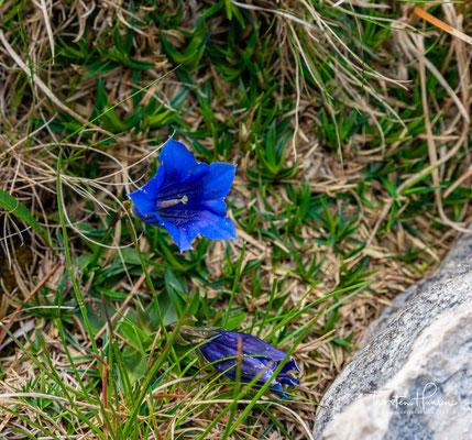 """Blau, blau, blau blüht der Enzian"".... Stengelloser Kalk-Enzian"